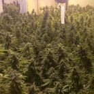 Cannabis raids have uncovered hundreds of plants in the past two years