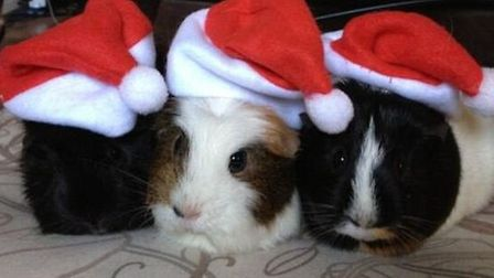 Bella, Cheryl and whoopi! Christmas guinea pigs by Kerry Goddard