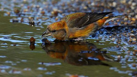 A male crossbill drinking - by Margaret Holland