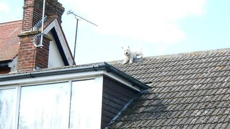Whisky the Westie stuck on the roof of Mary and Norman Cawston's house in Priorry Road, Felixstowe.