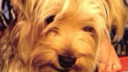 Eight-month-old Yorkshire Terrier Holly has been found after going missing following a collision on