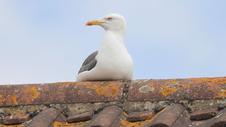 A Herring Gull keeps guard on young on a rooftop in Crossley Gardens, Ipswich.