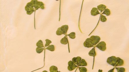 The four and five-leaf (top centre) clovers found by nine-year-old Megan-Lucy Neville in her garden