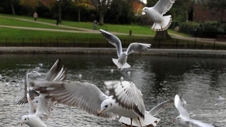 Are gulls linking up with cormorants to take fish from Christchurch Park's round pond?