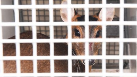 The rescued muntjac prepares for her trip to Norfolk.