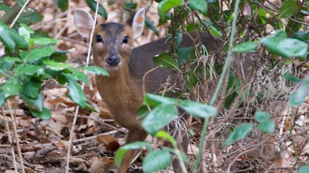 The muntjac deer released back into Christchurch Park.