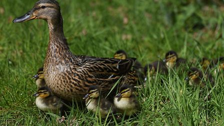 Return of a duck family to Holbrook Academy. Students are excited to see them develop.
