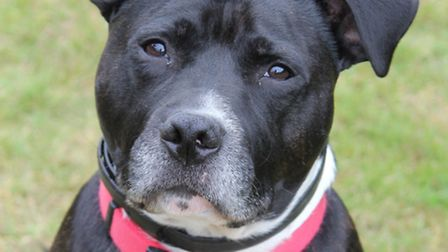 Buzz the Staffordshire bull terrier
