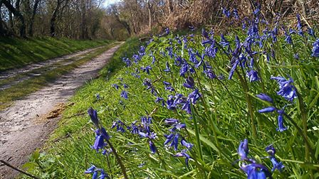 Bluebells coming out at Dunwich. Picture: Alison Connors