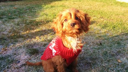 Noodle, the four-month-old cavapoo. By Alex Howell.