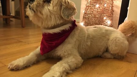 Ronnie getting into the Santa Paws spirit. By Kerri Worrall.