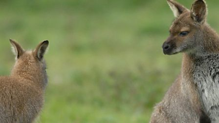 Library photo of two grey wallabies at a farm in Norfolk
