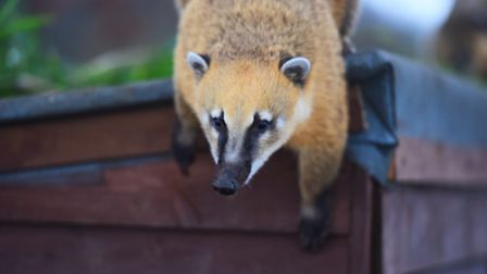 The newest animal at the zoo is the Coati, a member of the racoon family