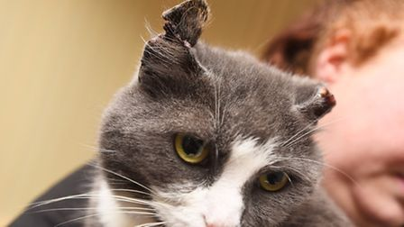 Lola the cat has been subjected to a horrific attack, which include having her ears cut off. Picture