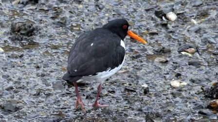 017 NB Birds around low tide on the River Orwell, Ipswich. Oystercatcher.