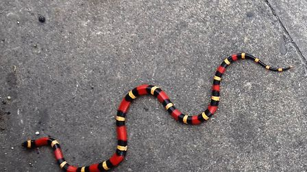 The milk snake pictured near the entrance to Christchurch Park