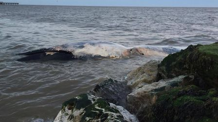 The whale not log after it was washed up at Felixstowe beach. Picture: FELIXSTOWE COAST PATROL RESCU