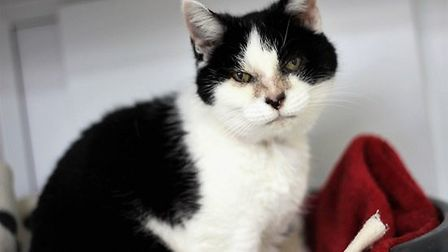 Could this friendly lady Chloe be the perfect cat for you? Picture: RSPCA SUFFOLK EAST AND IPSWICH