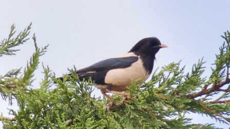 The rare rose-coloured starling spotted in Larchcroft Road, Ipswich. Picture: CHRIS COURTNEY