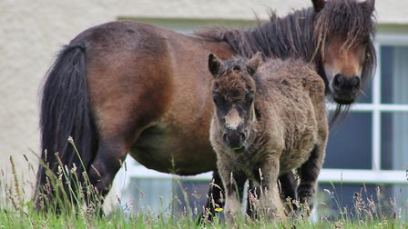 Shetland Pony and Foal by Loch Long. Picture: PETER BASH