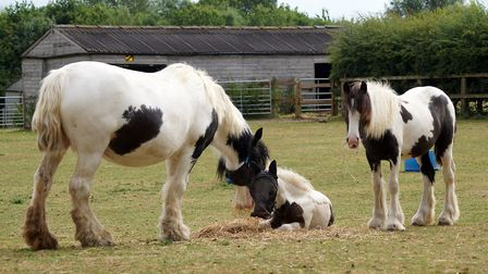 Rescued horses, Brook, Chad and Blyth after recovering at Redwings Horse Sanctuary. Picture: REDWING