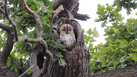 Mabel the owl in her tree. Picture: SU ANDERSON