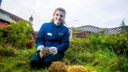 Ipswich hedgehog officer Ali North with one of her prickly friends in one of the town's hedgehog-fri