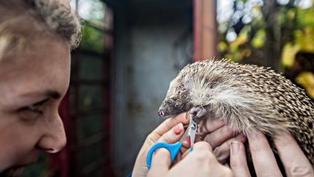 Ipswich hedgehog officer Ali North tends to an individual in the town. Picture: JOHN FERGUSON
