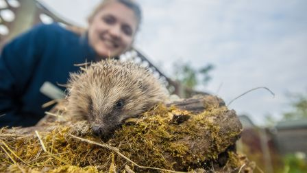 A hedgehig 'snuffles' through an Ipswich garden as the town's hedghog officer Ali North looks on. Pi