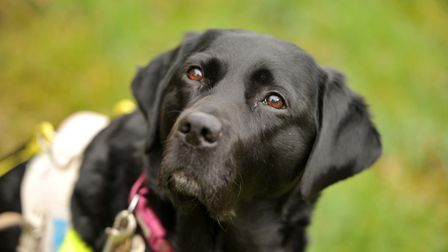 Guide dog Ally, who is being forced to retire. Picture: SARAH LUCY BROWN