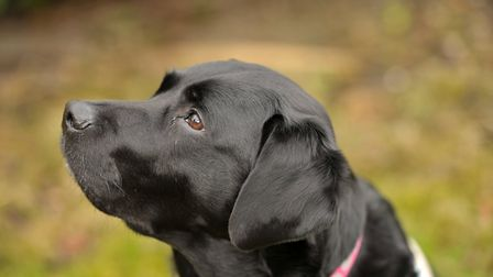 Guide dog Ally. Picture: SARAH LUCY BROWN