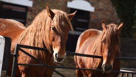 Suffolk Punches at Rede Hall Farm. Picture: GREGG BROWN