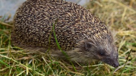Are hedgehogs becoming a more urban species? Picture: SARAH LUCY BROWN