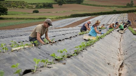 Male and female workers planting strawberries outdoors in rows. Picture: Getty Images