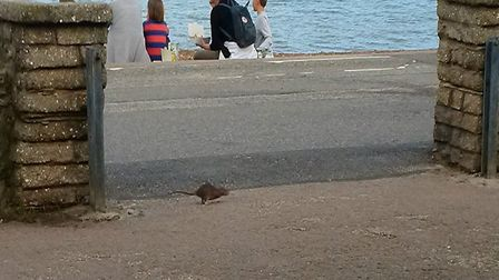 One of the rats dashes past at Felixstowe seafront Picture: WILLIAM DREHER
