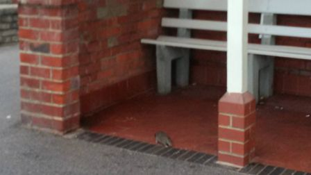 A rat scampers near to the a shelter at Felixstowe seafront Picture: WILLIAM DREHER