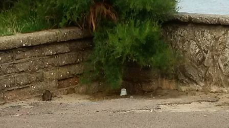 A rat near Felixstowe seafront Picture: WILLIAM DREHER