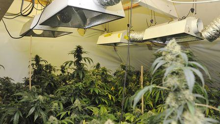 Cannabis plants found in the attic of a house in Haughley during a police operation in 2016 Picture