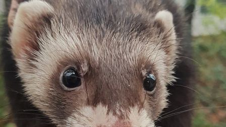 Alan the polecat ferret needs a home - could he be your new pet? Picture: RSPCA SUFFOLK