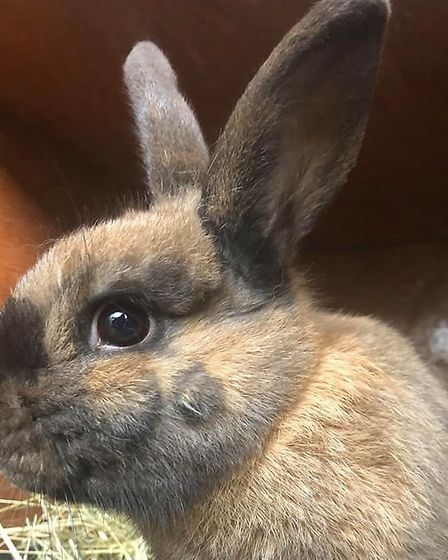Marlon the rabbit needs a new forever home. Picture: RSPCA SUFFOLK