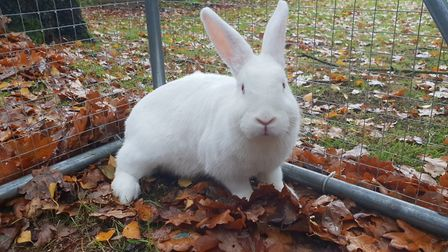 Could you give a home to Snow White the rabbit? Picture: RSPCA SUFFOLK