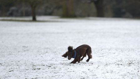 A dog has fun in the snow in Christchurch Park, Ipswich Picture: SARAH LUCY BROWN