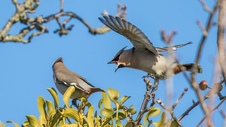 The waxwings have arrived in Defoe Road, Ipswich from Scandinavia. Picture: PHILIP CHARLES