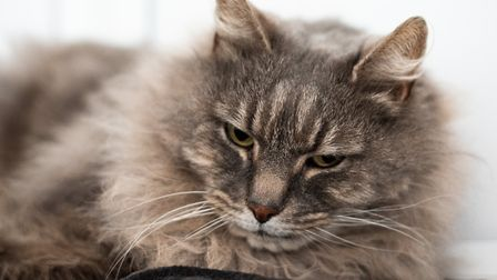 Grey Tabby Brodie, is looking for a new home Picture: SARAH LUCY BROWN