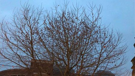 Pied wagtails have gathered in Ipswich Picture: ARCHANT