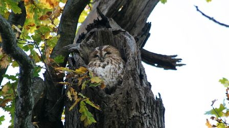 Mabel the tawny owl in Christchurch Park Picture: Julie Kemp