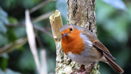 Robin in Lackford lakes Picture:MICK WEBB