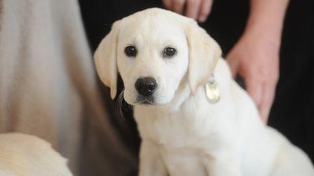 Guide dog puppy Sky, one of the puppies previously trained by Penny Parker in Felixstowe. Picture: L