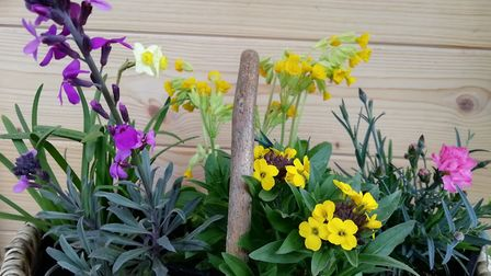 Wallflowers, Pinks and Cowslips all good for spring hanging baskets PICTURE: Ruth Goudy