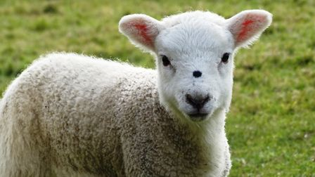 A lamb has died after a dog chased a flock of sheep in Playford (stock image) Picture: PAMELA BIDWEL